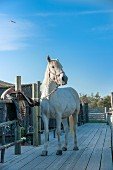 White horse hitched to fence on wooden boardwalk