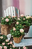 Potted roses in wicker planters on a stool and on a bench
