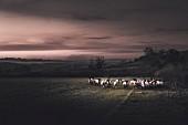 Sheep in dramatic twilight atmosphere, Gloucestershire, England, UK