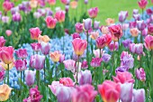 Bed of mixed pastel tulips (Keukenhof, Netherlands)