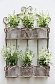 Weiss blühende Angelonia in Pflanztöpfen im Wandregal aus Metall