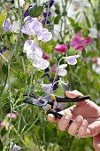 Wickenblütenzweige mit Gartenschere schneiden