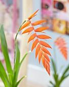 Tillsandsia mit orangefarbener Blüte (Tillandsia Dyeriana)
