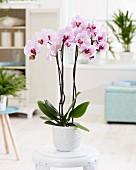 Phalaenopsis cyrene orchid