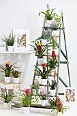 Bromelia collection