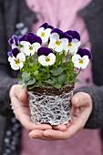 Viola cornuta 'Petit' with root ball