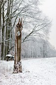 Hollow tree trunk in front of beech woodland in winter landscape
