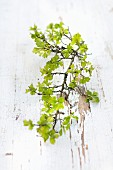 Branch of hawthorn with delicate spring leaves on surface with peeling white paint