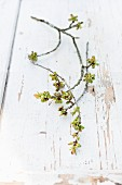 Branch of cherry blossom buds on wooden surface with peeling white paint