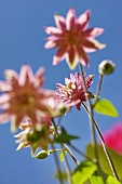 Pastel pink aquilegia flowers against blue sky