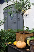 Pumpkins and small, potted olive tree on surface in garden