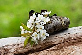 Cherry blossom inserted into piece of curved bark on dead log outdoors