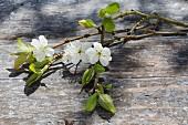 Zwetschgenbaumblüten auf verwittertem Holzuntergrund im Freien