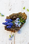 Forget-me-not and grape hyacinths in bowl-shaped piece of wood