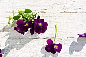 Dark purple violas in sunlight on wooden surface