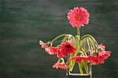 Pink gerbera daisies in a glass vase