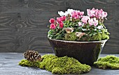 Cyclamen and moss in ceramic bowl