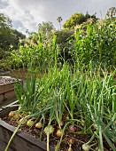 Onions growing in raised bed
