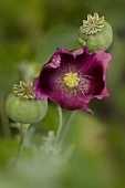 Purple poppy and seed heads