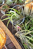 Balcony garden of air plants in various vessels