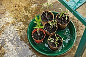 New seedlings in flowerpots on planter saucer