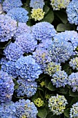 Hydrangea of variety 'Magical revolution blue'