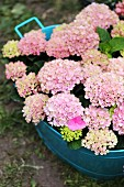 Hydrangea of variety 'Magical Revolution Pink' in blue metal tub