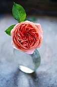 Rose of the variety 'Chippendale' in glass vase