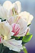 Aufgeblühte, gestreifte Tulpen (Nahaufnahme)