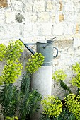 Spurge (Euphorbia) and watering can in front of old wall