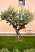 Old, gnarled olive tree in lawn in front of ornate, white, metal garden bench against apricot façade