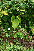 Wicker fence amongst dense greenery in garden