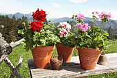 Geraniums in labelled terracotta pots on wooden board outside with Alpine landscape in background