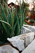 Aloe vera growing in bed with stone surround