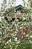 Blossoming apple tree in front of wooden house