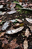 Autumnal oak leaves lying on woodland floor