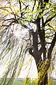 Weeping willow in springtime with newly budded leaves lit by sunlight from behind