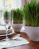 Green grass growing in white china bowls
