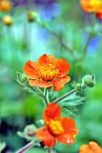 Orange geum in garden