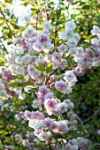 Blossom on Japanese cherry tree