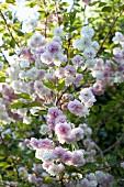 Blossom on Japanese cherry tree