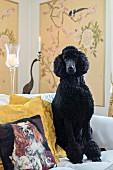 Black standard poodle on couch next to cushion with dog motif in elegant interior
