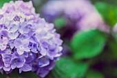 Purple hydrangea in the garden