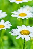 Ox-eye daisies in garden