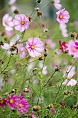 Lilac-flowering cosmos in garden