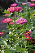 Pink zinnias in cottage garden