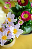 Potted lilac crocus and pink bellis