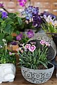 Pink sweet William in pale grey, spherical, ornamental planter in front of arrangement of purple-flowering plants