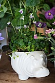Australian violet in white ceramic planter shaped like hippo