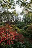 Blühender Azaleastrauch in dicht bewachsenem Garten